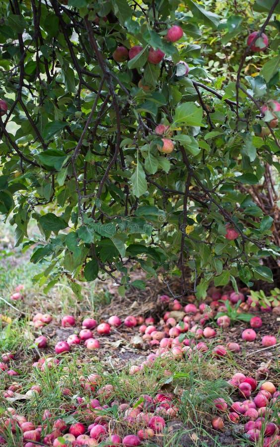 Maçãs vermelhas na árvore e maçãs na grama fotografia de stock royalty free