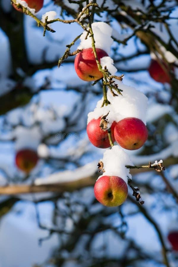 Maçãs vermelhas na árvore e na primeira neve fotografia de stock royalty free