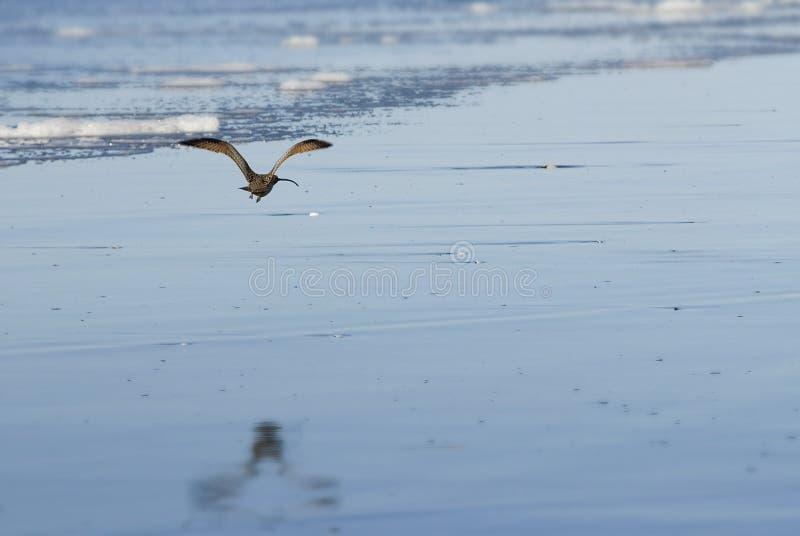 Maçarico real long-billed de voo foto de stock