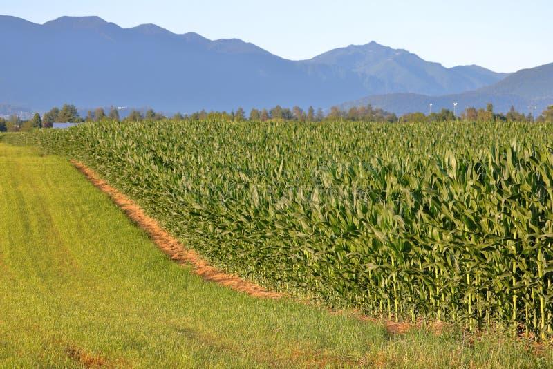 Maíz de campo o maíz de la vaca para el ganado fotos de archivo