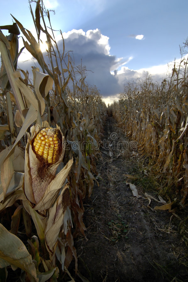 Maíz en campo de maíz imágenes de archivo libres de regalías