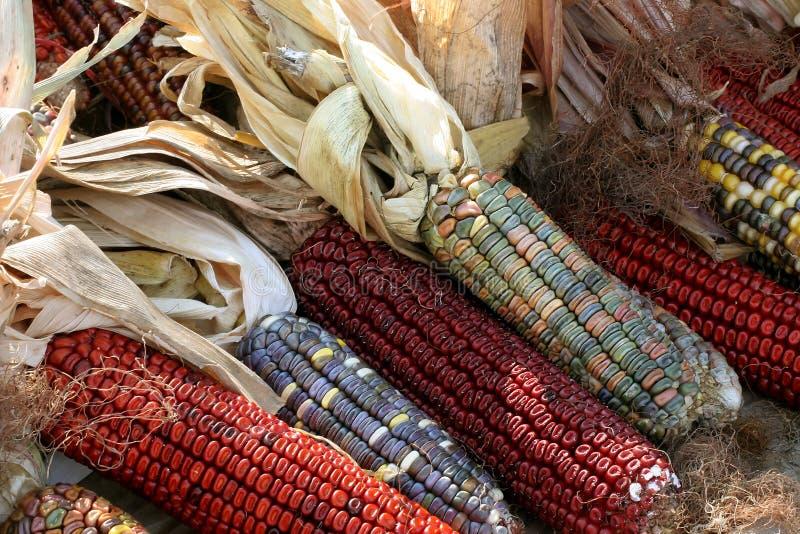 Maíz indio colorido fotografía de archivo libre de regalías