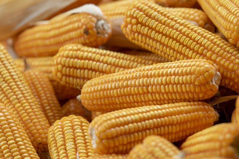 Maíz o maíz para procesar en el forraje amarillo Ciérrese encima de marco foto de archivo libre de regalías
