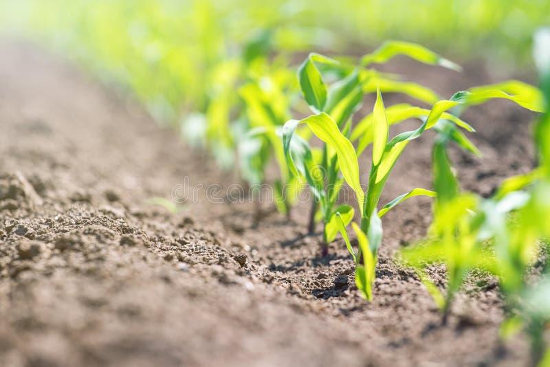 Maíz verde joven que crece en el campo Plantas de maíz jovenes foto de archivo libre de regalías