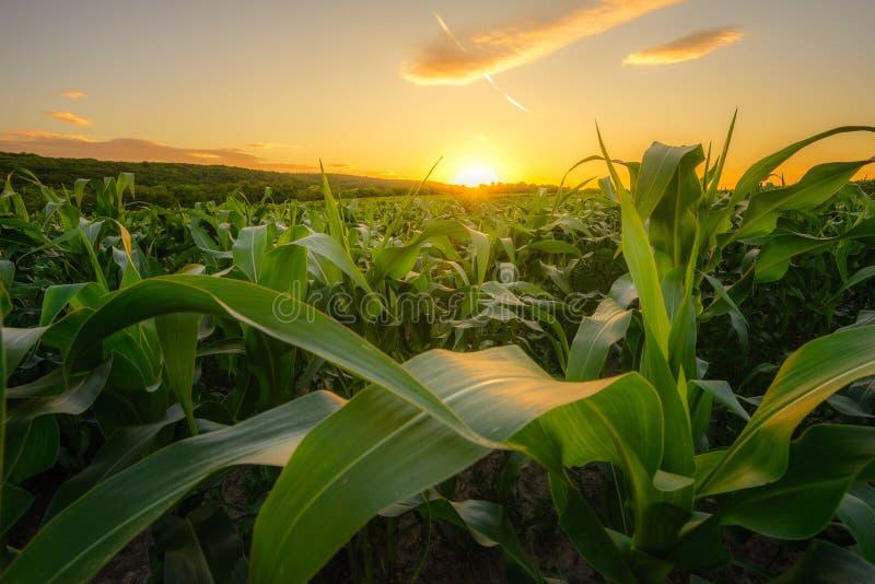 Maíz verde joven que crece en el campo en el tiempo de la puesta del sol fotografía de archivo