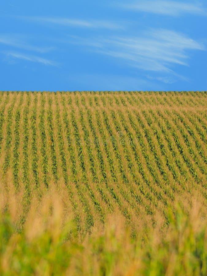 Maïs à une ferme dans le Midwest photo stock