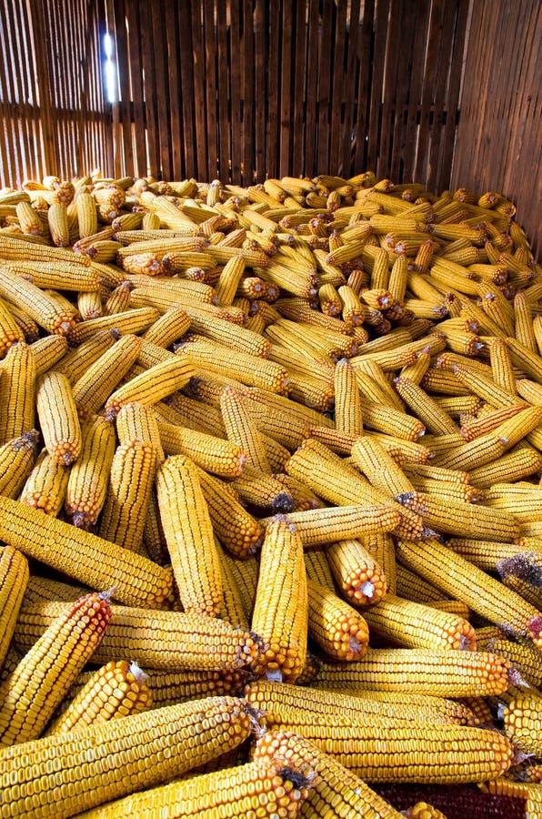 Maïs photo libre de droits