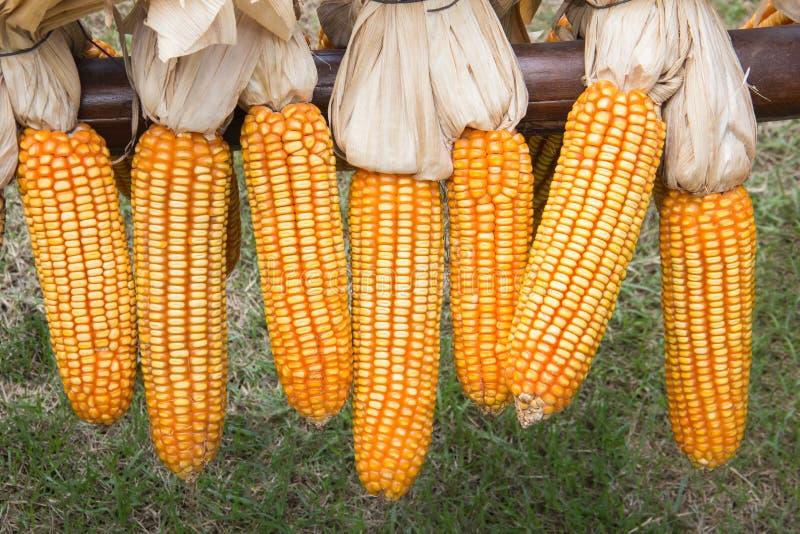 Maïs accroché sur la barrière photo stock