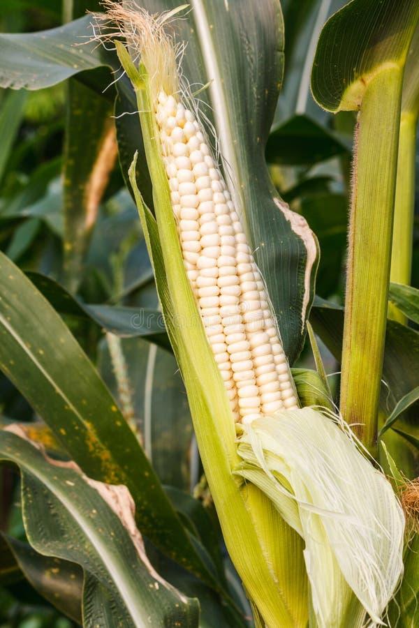 Maïs blanc dans le domaine photographie stock libre de droits