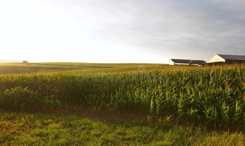 Maïs classé dans le soleil d'été photo stock