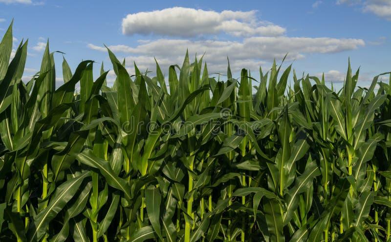 Maïs croissant d'été images stock