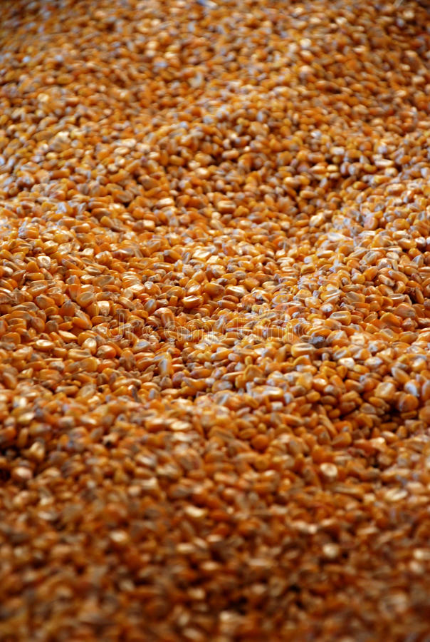 Maïs d'alimentation photographie stock