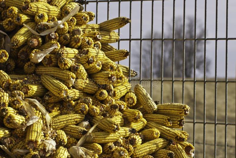 Maïs d'alimentation photo libre de droits