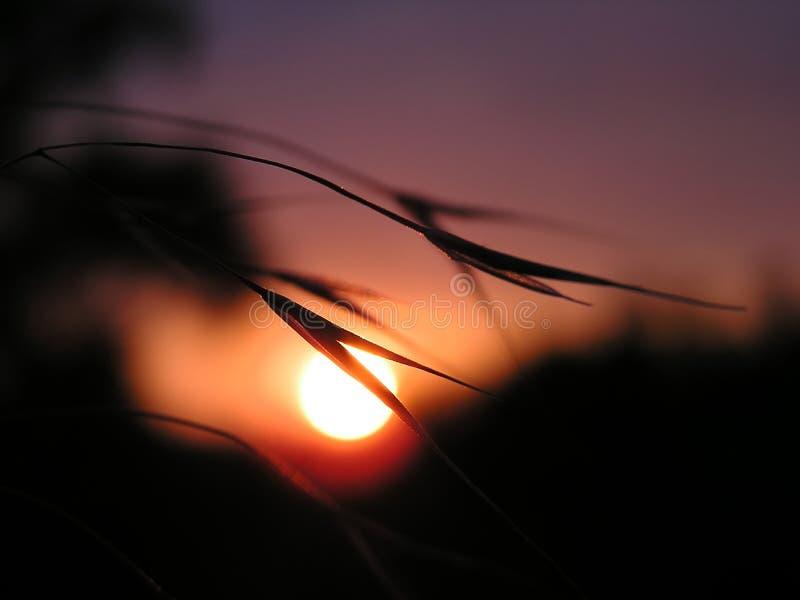 Maïs dans le coucher du soleil photographie stock libre de droits