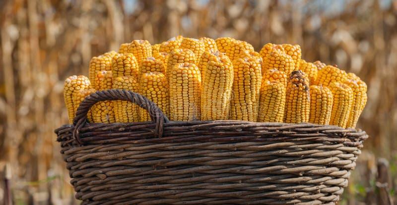Maïs dans un panier photographie stock libre de droits