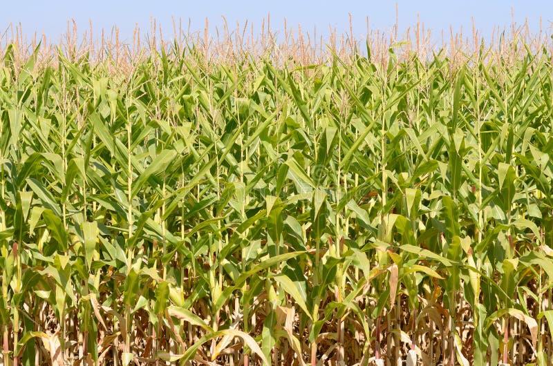 Maïs de champ étant élevé dans la vallée de Willamette images stock