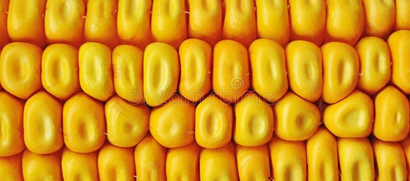 Maïs de maïs ceral photographie stock libre de droits