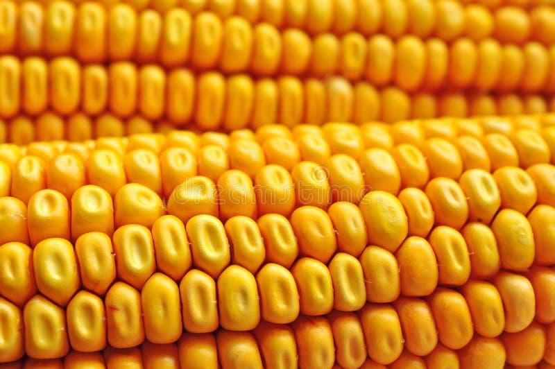 Maïs de maïs ceral image libre de droits