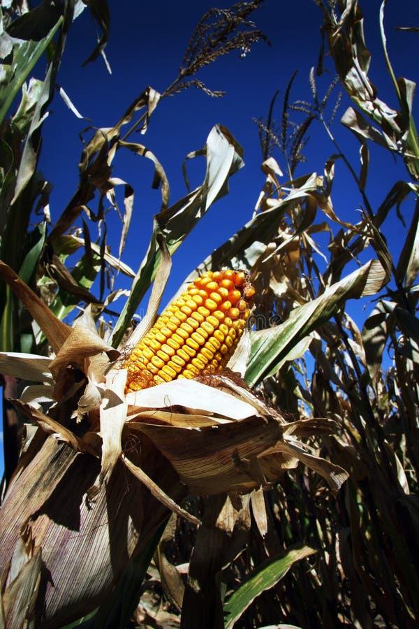 Maïs de récolte photographie stock libre de droits