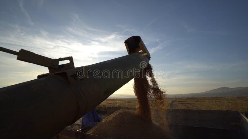 Maïs de récolte mécanisée et grains de déchargement dans la remorque de tracteur photographie stock libre de droits