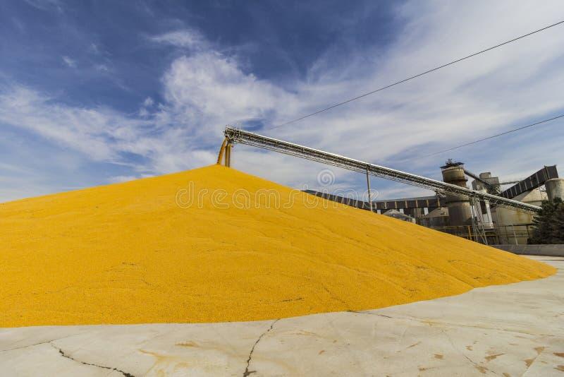 Maïs et grain manipulant ou moissonnant le terminal Du maïs peut être employé pour la nourriture, l'alimentation ou l'éthanol I images stock