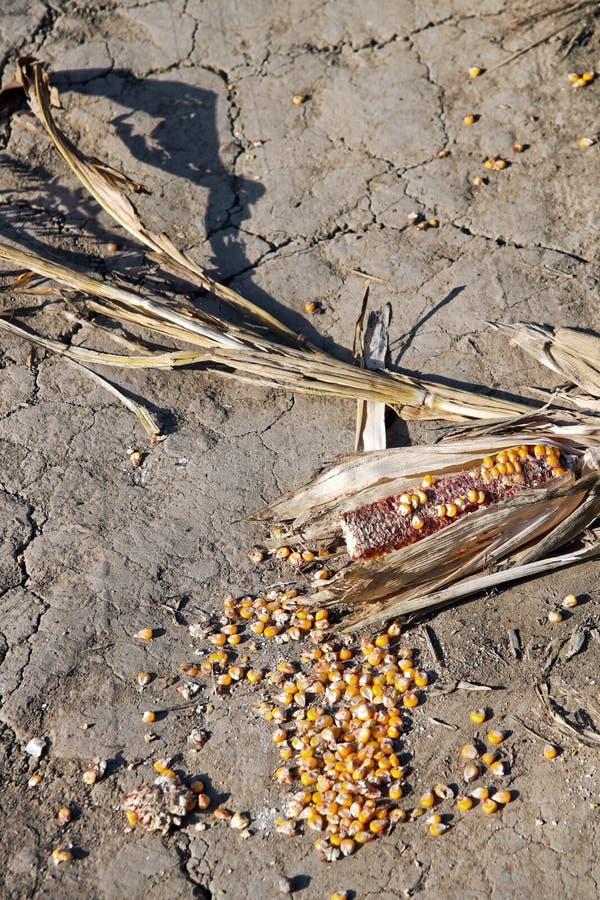 Maïs gaspillé photos libres de droits