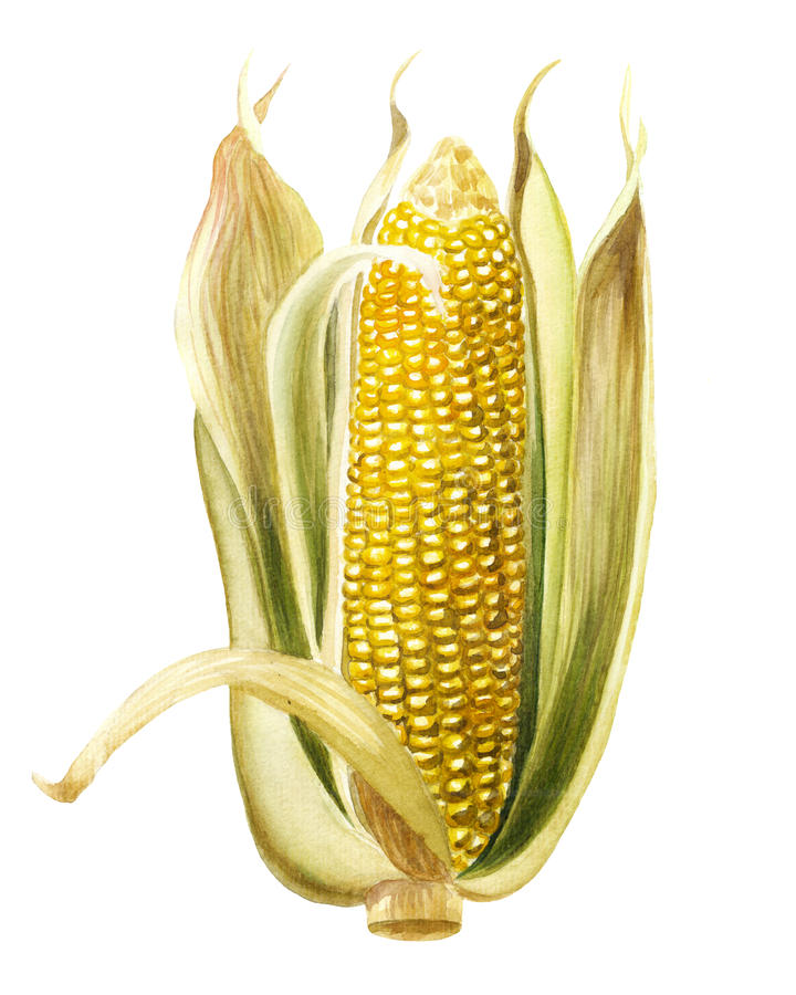 Maïs, graan stock illustratie