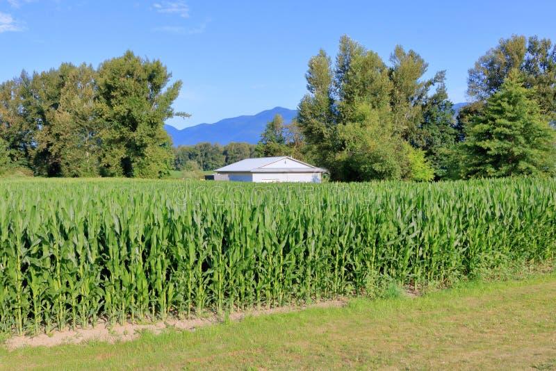 Maïs grand d'été et bâtiment moderne de ferme photographie stock libre de droits