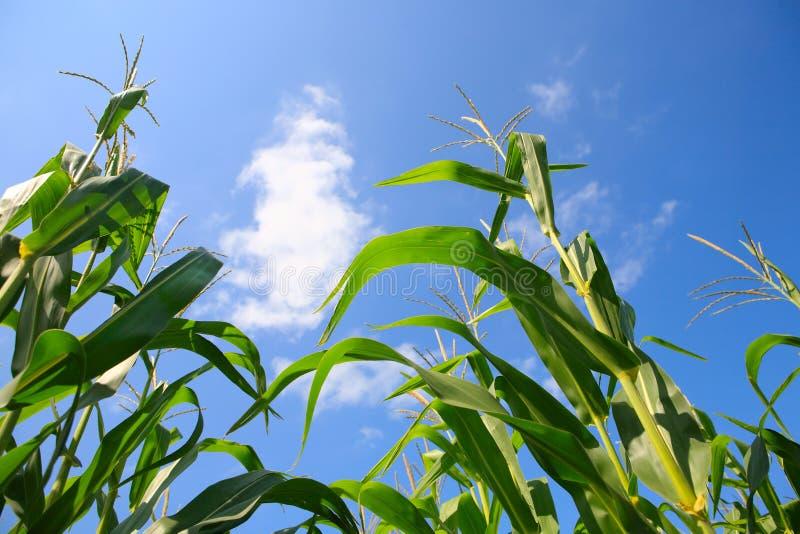 Maïs grandissant photos libres de droits