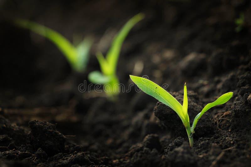 Maïs grandissant photographie stock