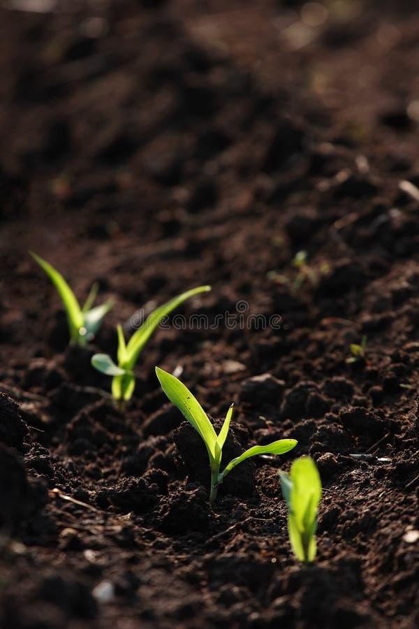 Maïs grandissant photos stock