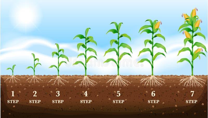 Maïs grandissant au sol illustration stock