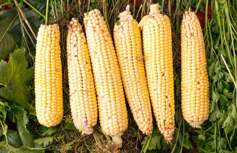 Maïs jaune et frais du jardin photo libre de droits