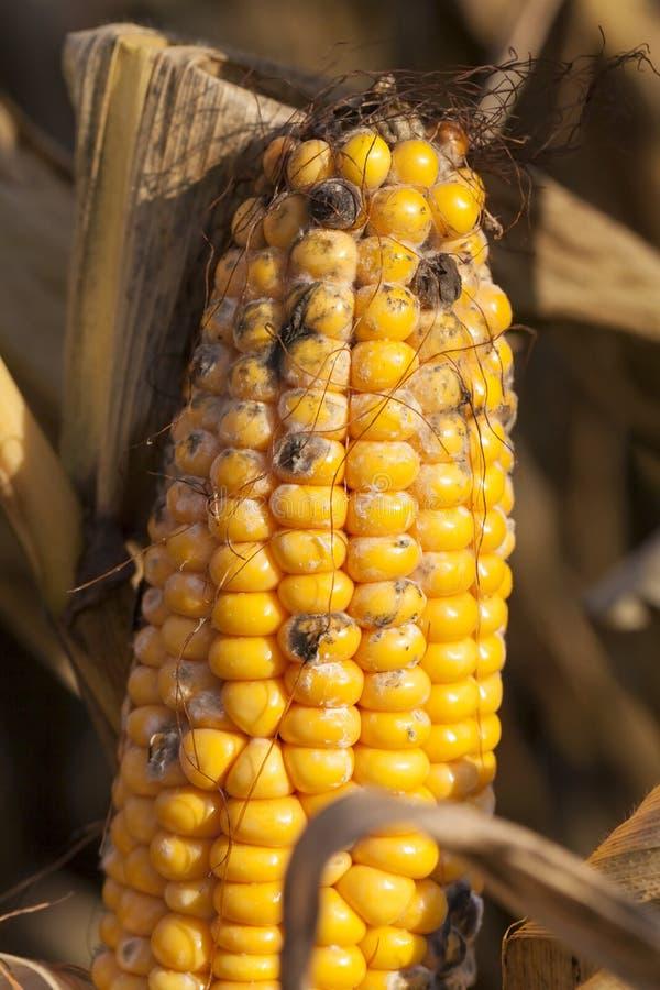 maïs mûr fongueux photos libres de droits