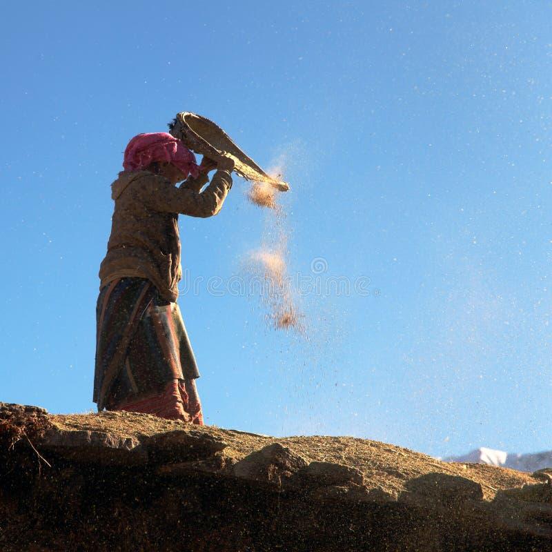 Maïs népalais de nettoyage de femme en vent sur le toit du bâtiment photos stock