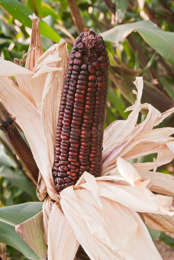 Maïs pourpre photo libre de droits