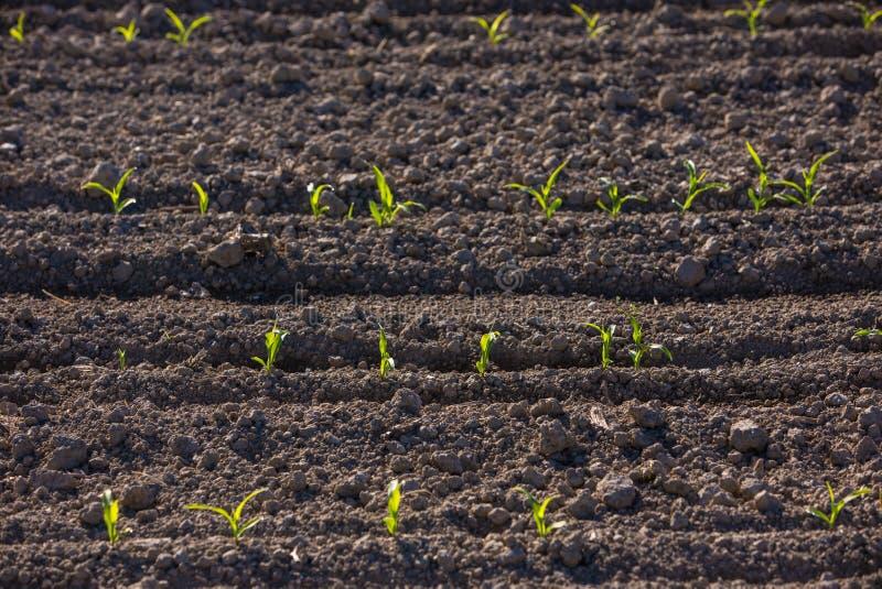 Maïs poussant à une ferme photographie stock libre de droits