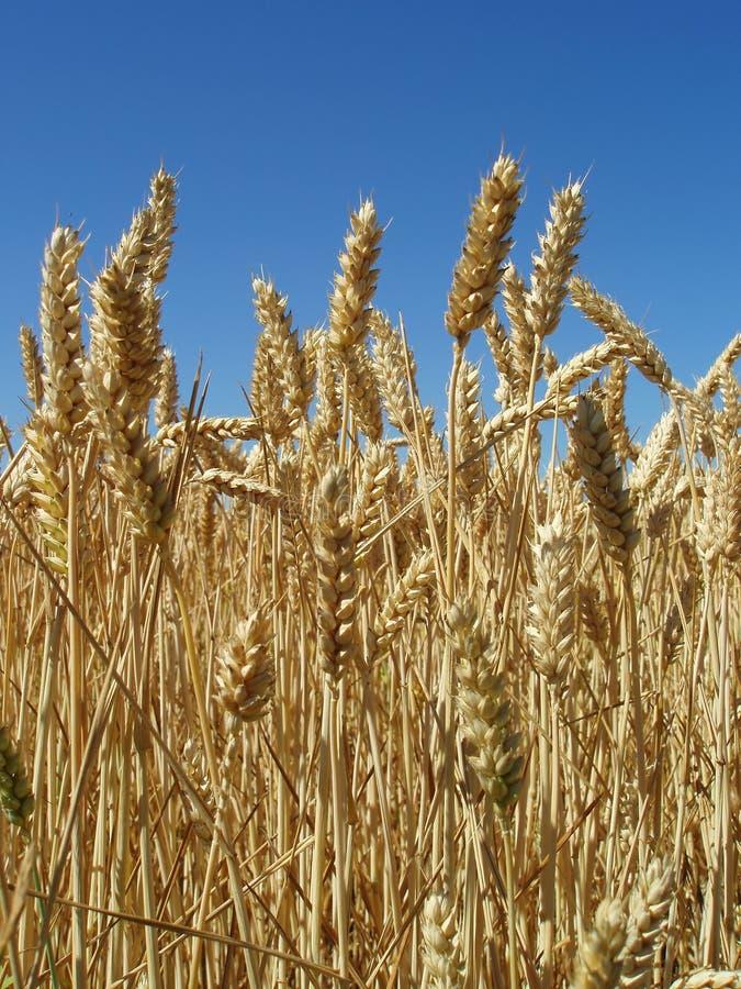 Maïs prêt pour la moisson photo stock