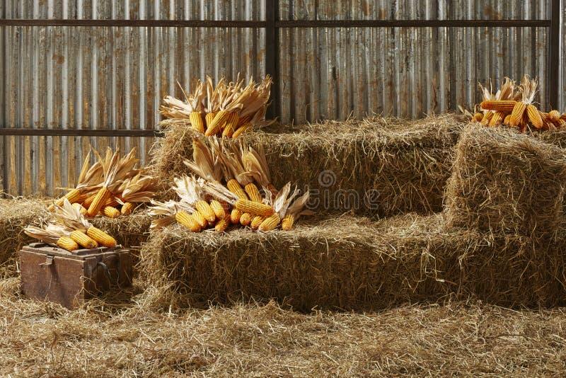 Maïs rigide dans la maison de grange image stock