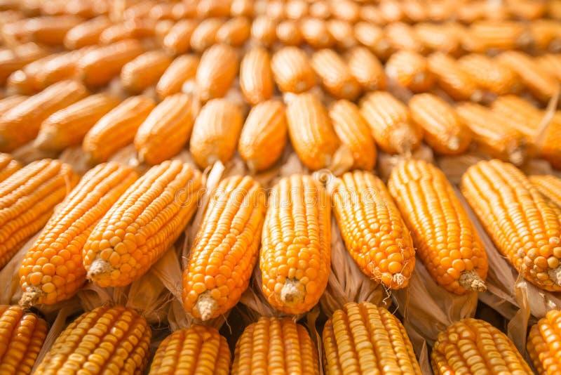 Download Maïs sec photo stock. Image du graine, organique, agriculture - 77155074
