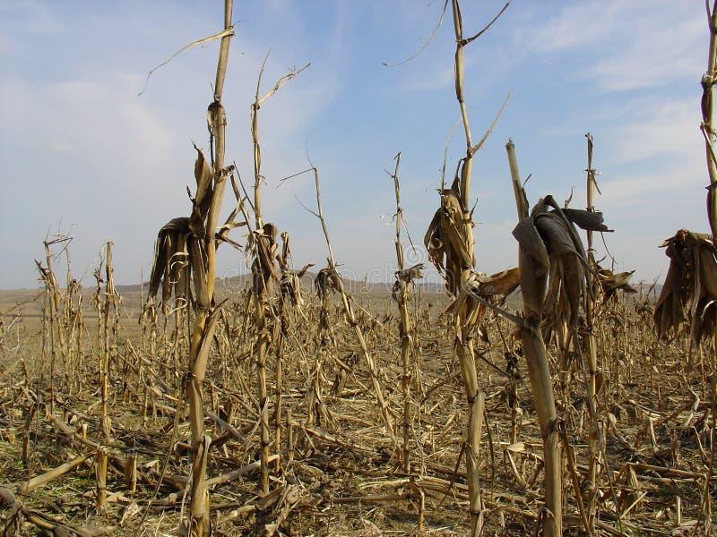 Maïs sec photographie stock libre de droits