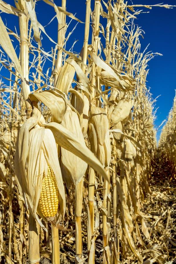 Maïs toujours de surplus pendant l'hiver de champ photographie stock