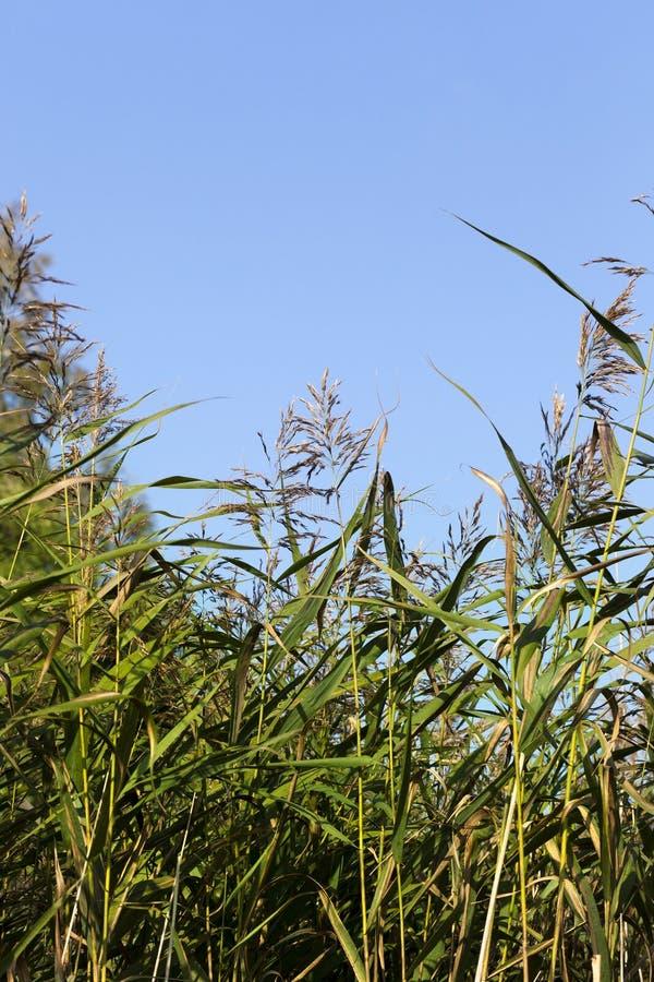 Maïs vert photographie stock libre de droits