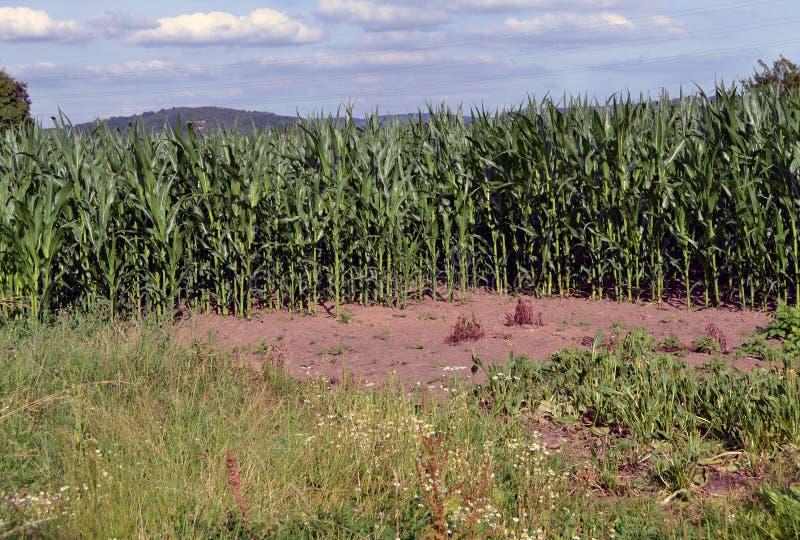 Maïs vert photo stock