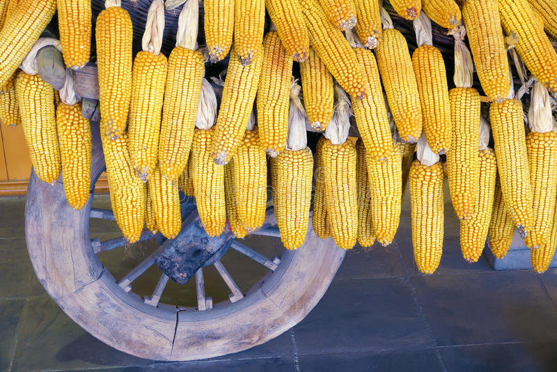 Maïskolven stock fotografie