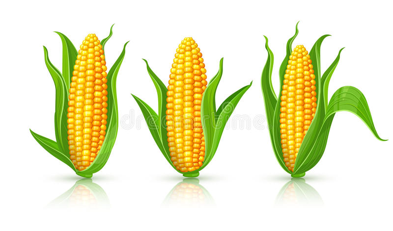 Maïskolven geïsoleerde reeks vector illustratie
