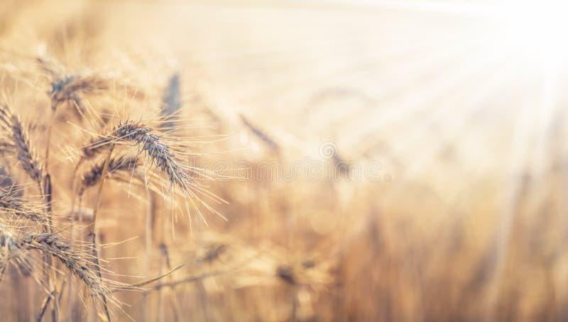 Maïskolven van de close-up de rijpe tarwe bij zonsondergang stock foto