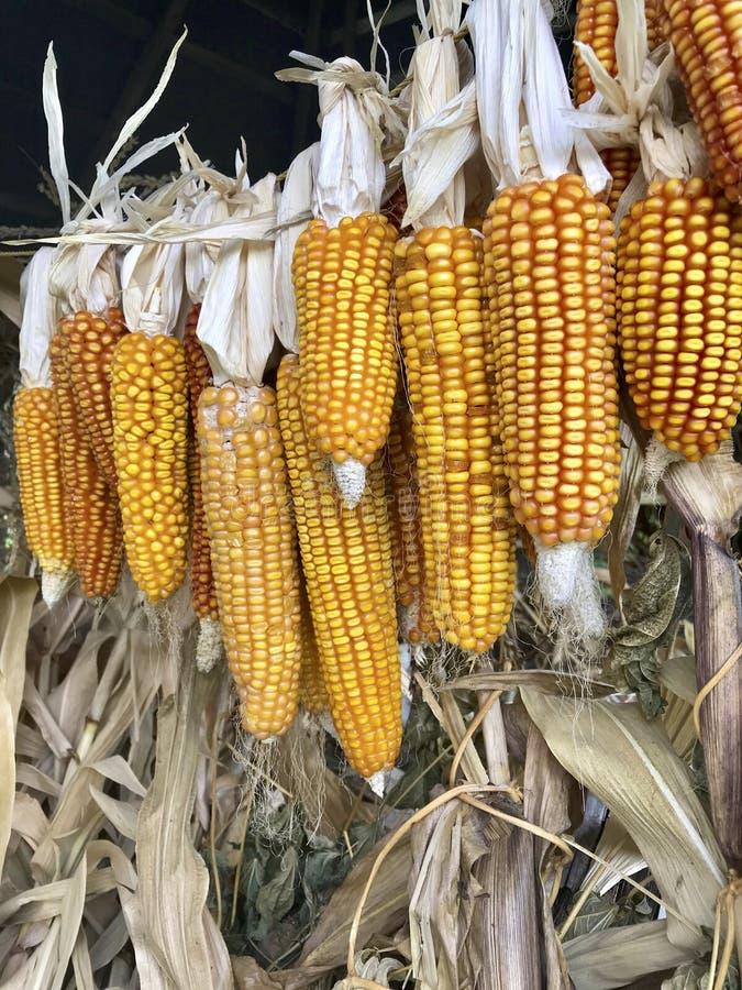 Maïskolven van graan het drogen in openlucht Verbonden aan elkaar glumes Hang op een strakke kabel Gewassen van infield worden ge royalty-vrije stock fotografie