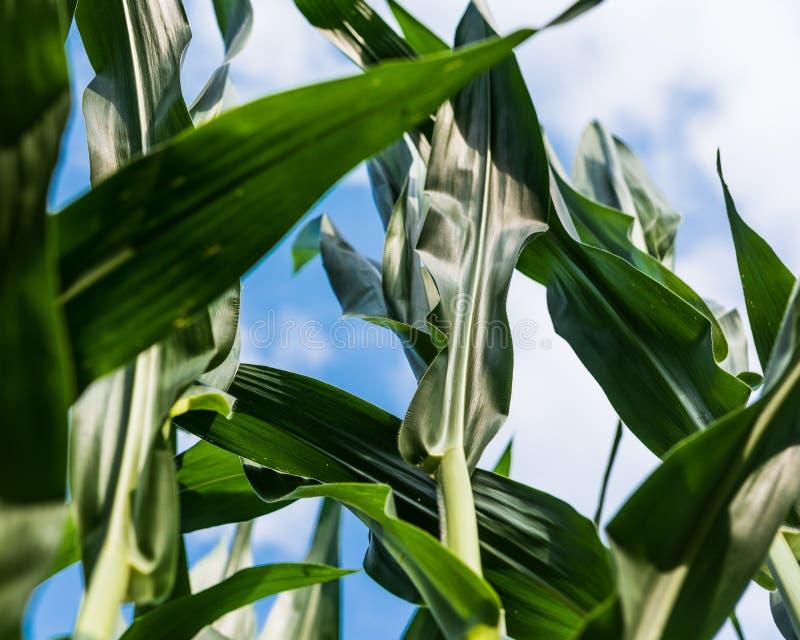 Maïskolvenbladeren en blauwe hemel royalty-vrije stock foto's