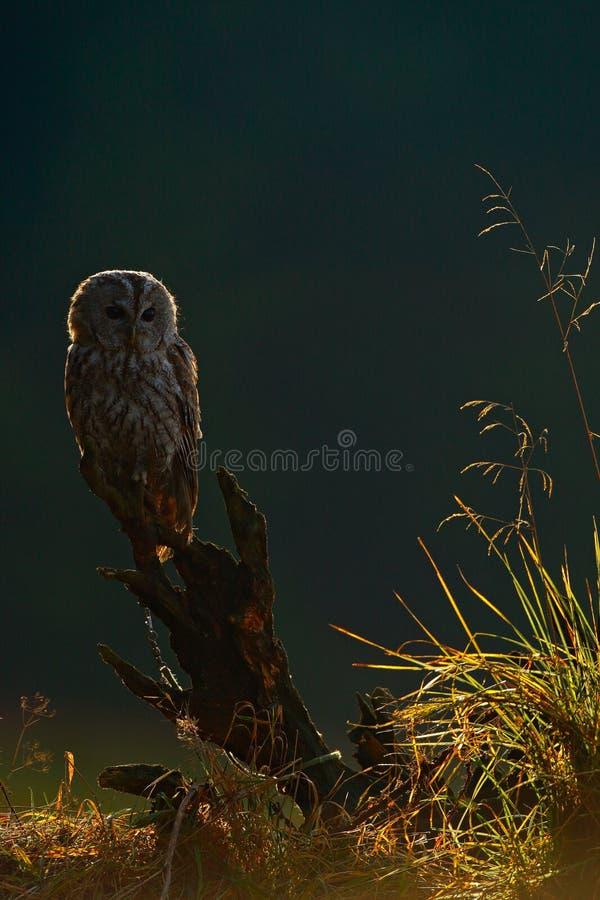 Mañana brumosa con el búho en naturaleza Eurasiático Tawny Owl, con el bosque borroso verde agradable en el fondo Pájaro durante  imagen de archivo